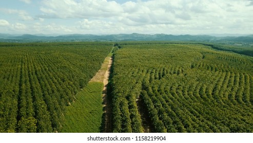 Overview rubber tree forest in Malawi Africa