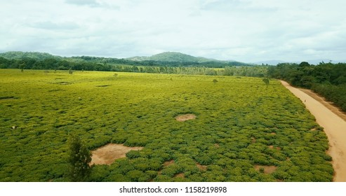 Overview tea leave field in africa malawi