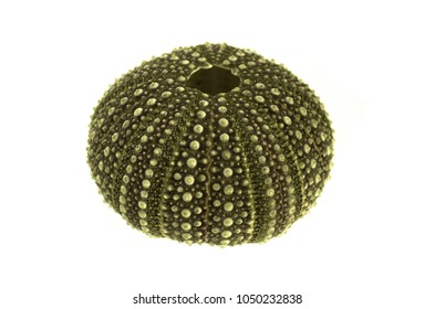 Overview of the test (hard shell) of a green and regular sea urchin (Echinoidea) isolated over a white background. Plates of ball and sockets for spines and plates of ambulacral groves are visible.