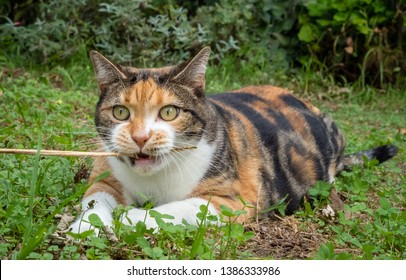 Overweight calico tabby cat exercising by chasing and biting grass held by owner