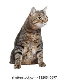 Overweight tabbi cat in a white studio