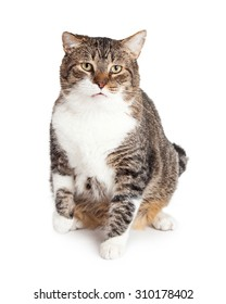 Overweight tabby cat sitting down and looking forward