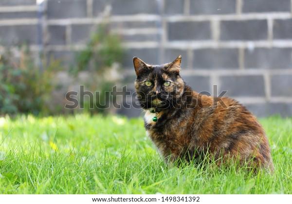 Overweight Tortoiseshell Cat in a Garden
