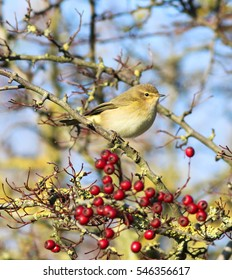 Overwintering Chiffchaff on berries