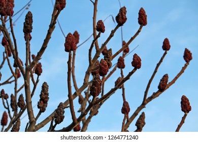 Overwintering staghorn sumac or Rhus typhina fruits on bare branches against  blue sky in early spring, Belarus