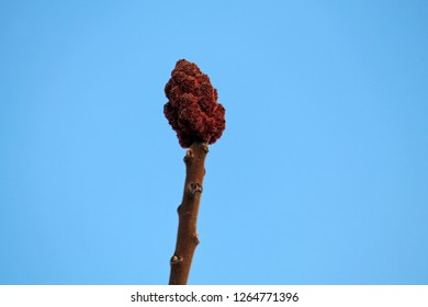 Overwintering staghorn sumac or Rhus typhina fruit on bare branch against  blue sky in early spring, Belarus
