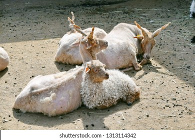 Ovis aries aries Screw-Horned Sheep Herd Stock Photo