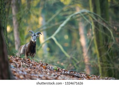 Ovis musimon. The wild nature of the Czech Republic. Free nature. Picture of mammal in nature. Beautiful picture. Animal in the woods. Deep forest. Mysterious Forest. Wild. From animal life. Spring na