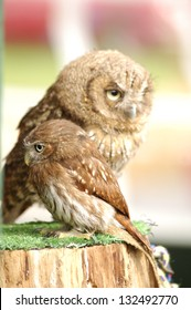 Owl and baby