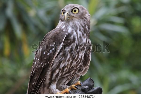 owl with big eyes in a park in tasmania