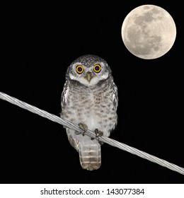 Owl bird at night and the moon