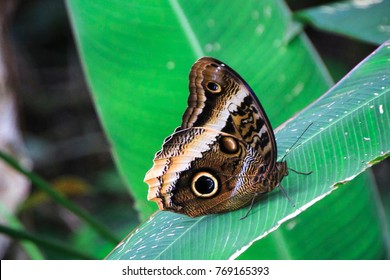 An owl butterfly (Caligo sp.) rests on a large leaf in the jungle. Tortuguero National Park, Costa Rica.