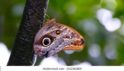 Owl butterfly hangs on a wet branch in a rain-forest. Camouflage that scares away birds. Mimicry for protection. Green foliage on blurred background