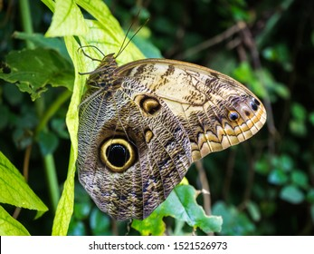 Owl butterfly on a leaf isolated