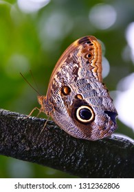Owl butterfly sits on a wet branch in a rain-forest. Camouflage that scares away birds. Mimicry for protection. Green foliage on blurred background