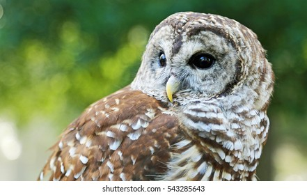 Owl close up - Barred Owl  - Reelfoot Lake State Park, Tennessee