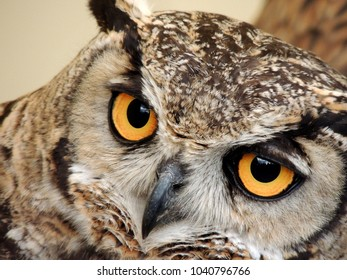 owl close-up front
