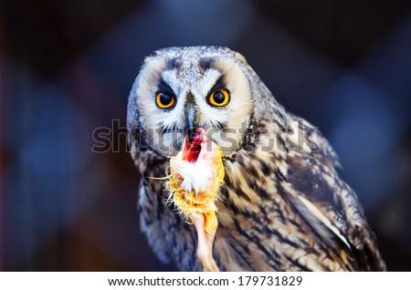 Owl Eating Chicken Stock Photo Edit Now 179731829 Shutterstock