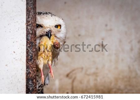 Owl Eating Chicken Stock Photo Edit Now 672415981 Shutterstock
