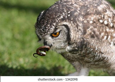 Owl Eating Images, Stock Photos & Vectors | Shutterstock