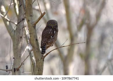 Owl Eye India