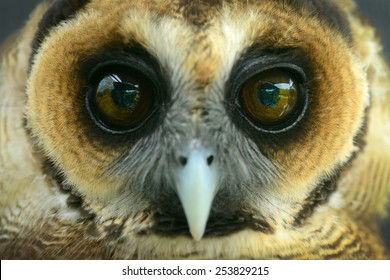 Owl eyes and face close-up front view