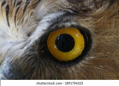 Owl eyes, used to hunt prey at night.