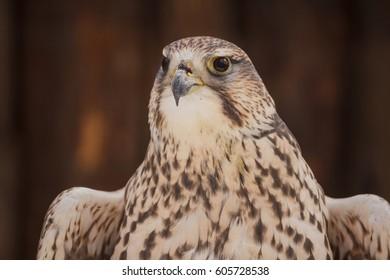 owl face