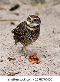 Owl  Florida Burrowing Owl close-up profile view with its prey on the ground and sand background, displaying brown feathers plumage, beak, eyes, feet in its environment and surrounding.