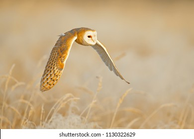 Owl fly with open wings. Barn Owl, Tyto alba, flight above the rime white grass in the morning. Wildlife, bird scene from nature. Cold morning sunrise, animal in the habitat.