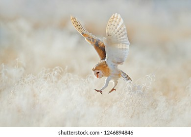 Owl fly with open wings. Barn Owl, Tyto alba, flying above rime white grass in the morning. Wildlife bird scene from nature. Cold morning sunrise, animal in the nature. Bird flight in sunrise.