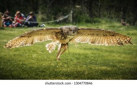 Owl flying wings spread