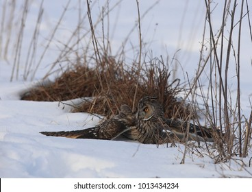 An owl hunting on a snowy field. Wildlife predator birds background.