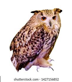 owl isolated on white background