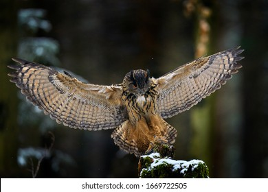 Owl landing. Eurasian Eagle Owl, Bubo Bubo, sitting on the tree trunk, wildlife photo in the forest with orange autumn colours, Germany. Bird in the forest, first snow in wildlife nature.