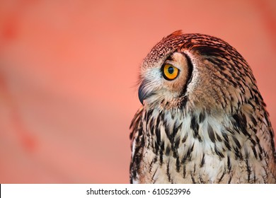 OWL LOOKING AT SIDE WITH ITS YELLOW EYES
