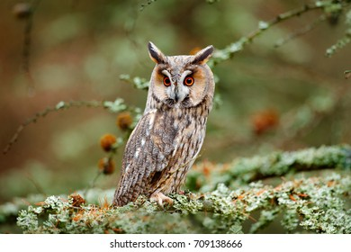Owl in nature wood nature habitat, sitting on the tree, long ears. Green lichen Hypogymnia physodes. Long-eared Owl sitting on the branch in the fallen larch forest during autumn.