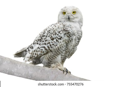 owl (Nyctea scandiaca)  isolated on a white background