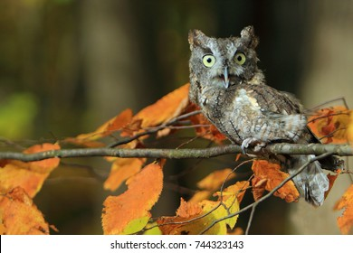 owl on a branch/eastern screech owl/owl in the woods