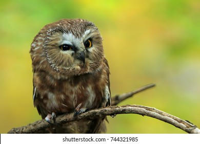 owl on a branch/saw whet owl/owl in the woods