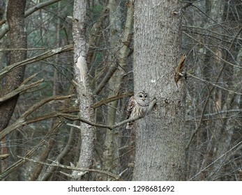 An owl on a cold winter day resting on a pine tree branch.