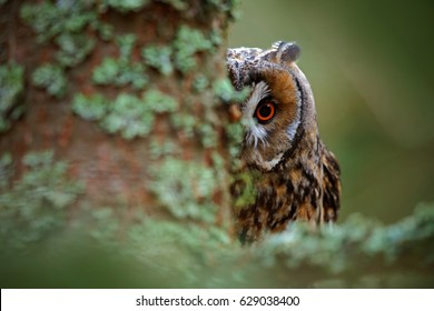 Owl on the tree. Hidden portrait of Long-eared Owl with big orange eyes behind larch tree trunk, wild animal in the nature habitat, Sweden. Wildlife scene from nature.