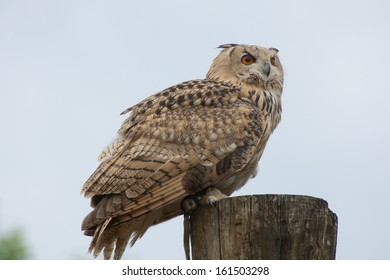 Owl on tree-stump