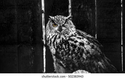 Owl with one eye open