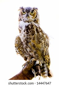 Owl perched on glove, white background