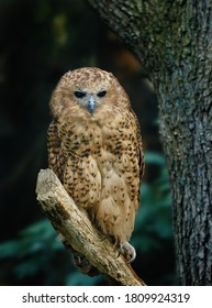 Owl in riverine dark forest. Pel's fishing owl, Scotopelia peli, perched on branch and waiting for prey. Large african nocturnal owl. Bird in nature habitat. One of the largest owl in the world.