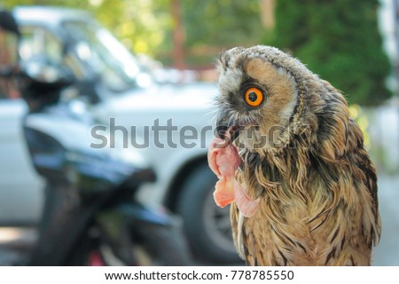 Owl Sitting Eating Chicken Meat Stock Photo Edit Now 778785550