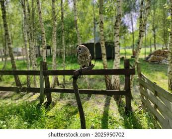 An owl sitting on a fense.