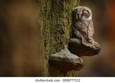Owl sitting on polypore fungus on the tree. Boreal owl, Aegolius funereus, sitting on old tree trunk in the forest habitat. Widlife nature in Germany, Europe. Cute small owl.