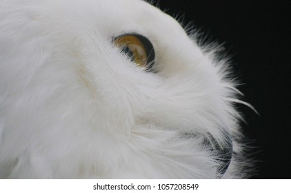 owl snow owl closeup
